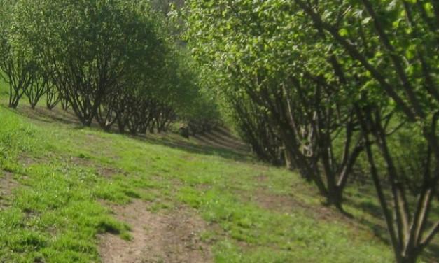 Popillia Japonica Newman: anche quest'anno a Casale Monferrato l'intervento di Ipla