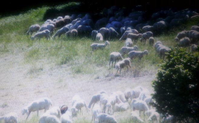 Invasione di pecore in località Braida a Strevi