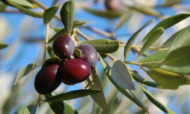 Secondo la Coldiretti l'oliva taggiasca deve essere solo ligure