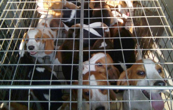 Orrore ad Acqui Terme in un allevamento di cani Beagle