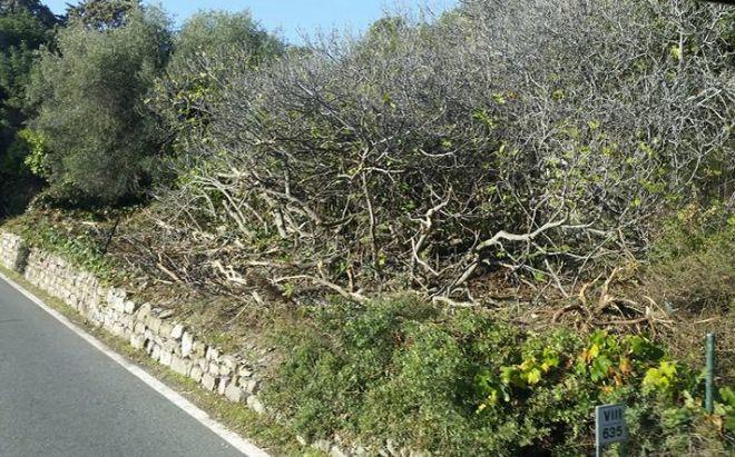 """Polemica sui lavori di pulizia tra Cervo e Andora: """"La flora è stata deturpata hanno distrutto le Agavi che ci invidiano in tanti"""""""