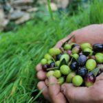 Ottima annata nel Ponente ligure per uva, olive, funghi e castagne