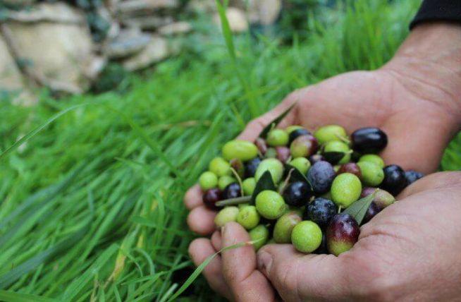 """In regione il M5S chiede di salvare l'oliva Taggiasca: """"No alla cancellazione dallo schedario"""""""