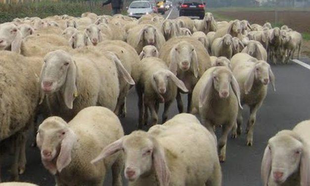 A Tortona per due volte un gregge di pecore blocca il traffico sulla statale, da non credere!