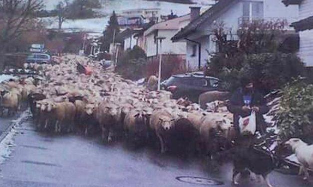 Pecore a Tortona, ci scrive una lettrice dalla Svizzera: con tolleranza e rispetto reciproci non ci sarebbero problemi