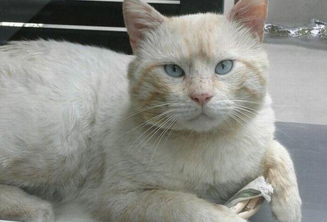 In via Diano Calderina a Imperia è scomparso questo gatto, se lo avete visto chiamate il 3479921858