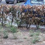 A Tortona i giardini di piazza Cesare battisti non sono curati. la segnalazione di Alessandro Lolla