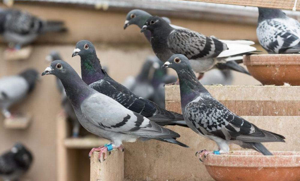 Il Comune di Cervo ha varato una serie di  interventi per sterilizzare i piccioni