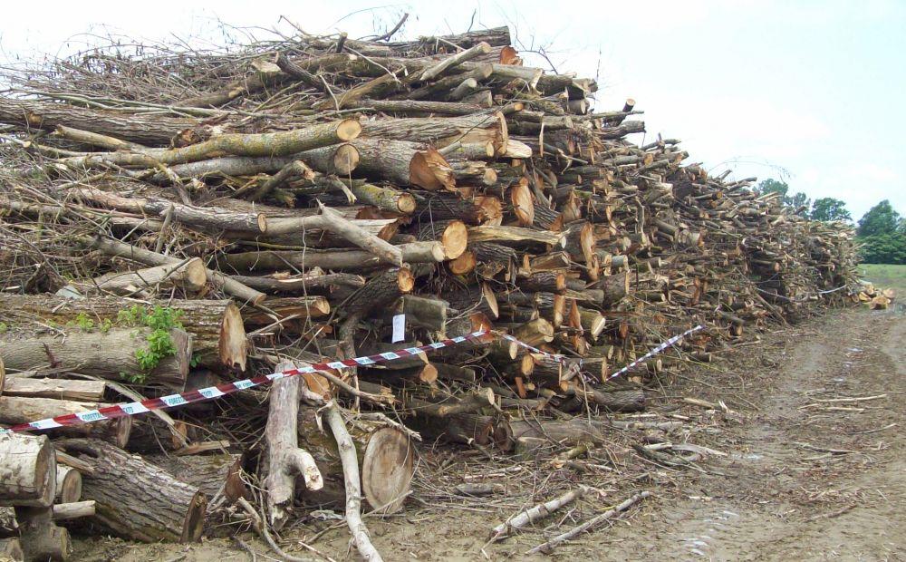 Rumeni tagliano abusivamente tutti questi alberi sulle sponde del Bormida, scoperti dalla Forestale