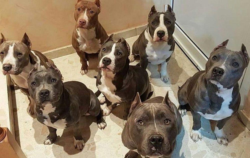 La Polizia di Casale arresta un senegalese, ma adesso ha problemi con i suoi 40 cani pitbull