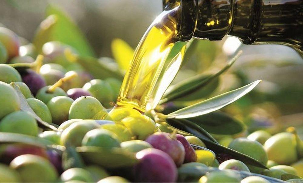 In provincia di Imperia partita la raccolta delle olive