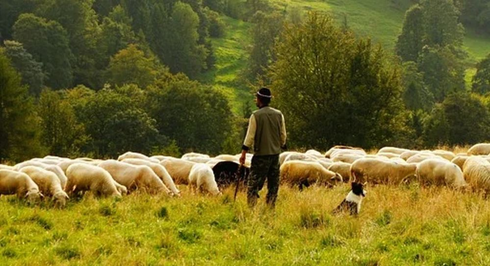 Un pastore Fa pascolare le pecore a Casale Monferrato, multato dalla Forestale
