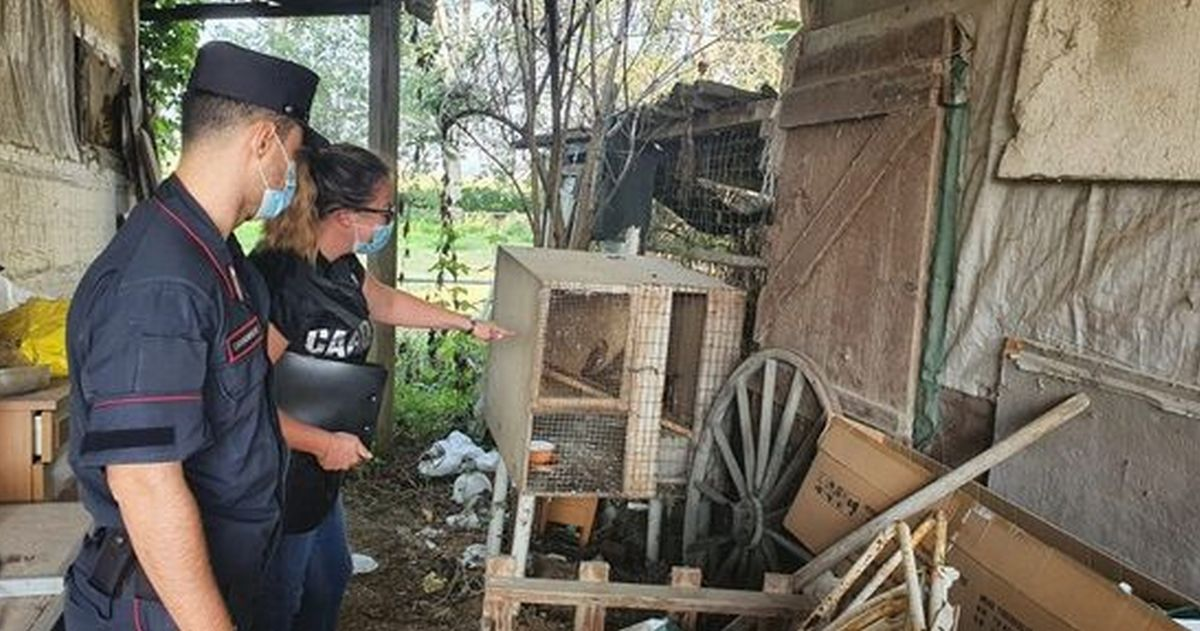 Aveva catturato due falchi e li teneva in questa gabbia, denunciato dai Carabinieri di Casale Monferrato