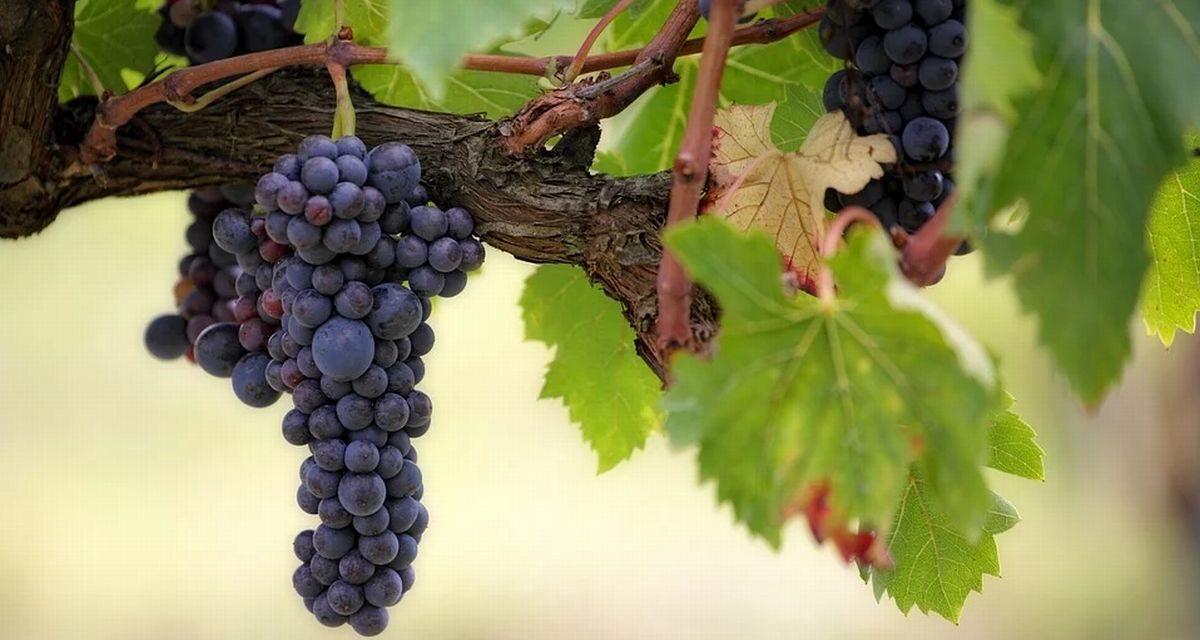 Confagricoltura Alessandria: nell'Ovadese pronti a raccogliere le uve del Dolcetto