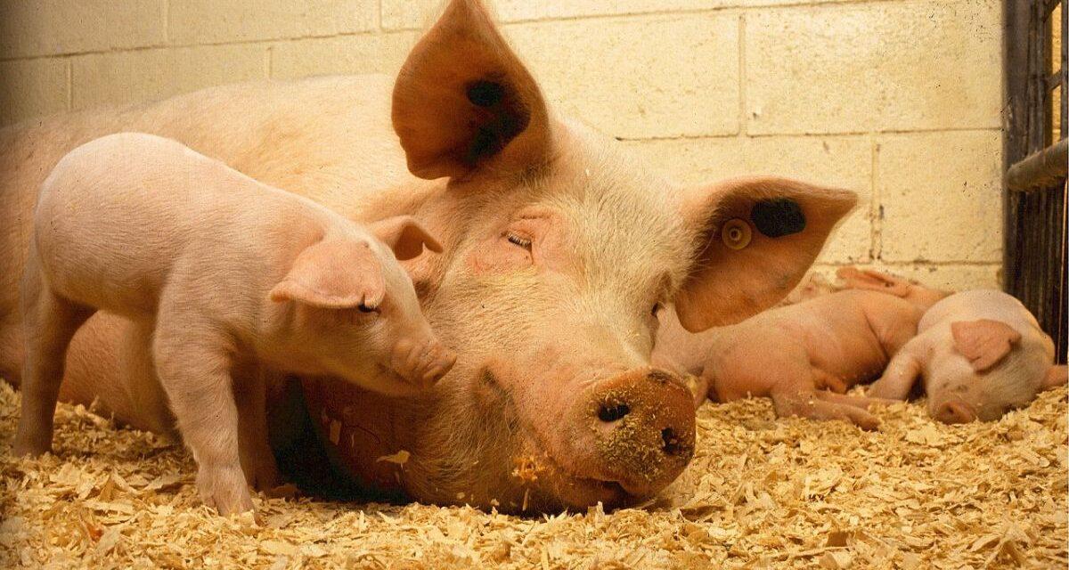 Peste suina in germania: Coldiretti chiede lo stop all'arrivo di animali dal paese