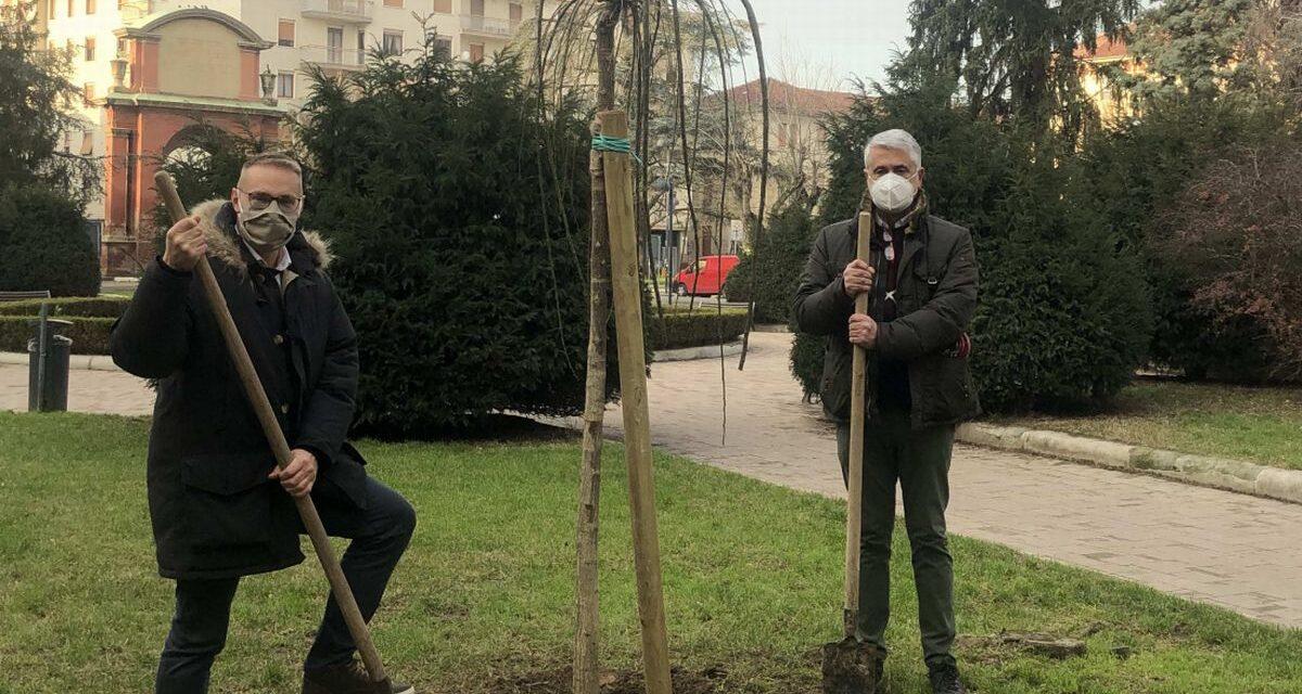 Nuove piante in piazza Matteotti ad Alessandria