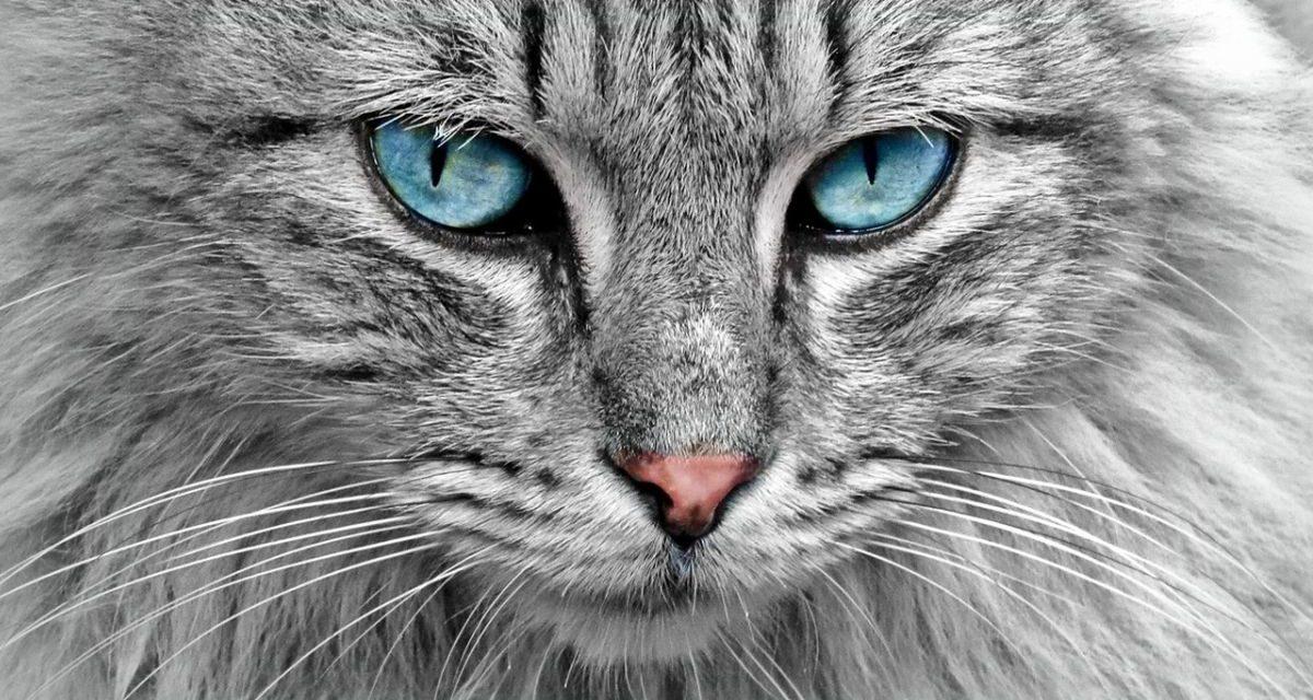 Il Piemonte ha identificato la variante inglese su un gatto. Primo caso in Italia