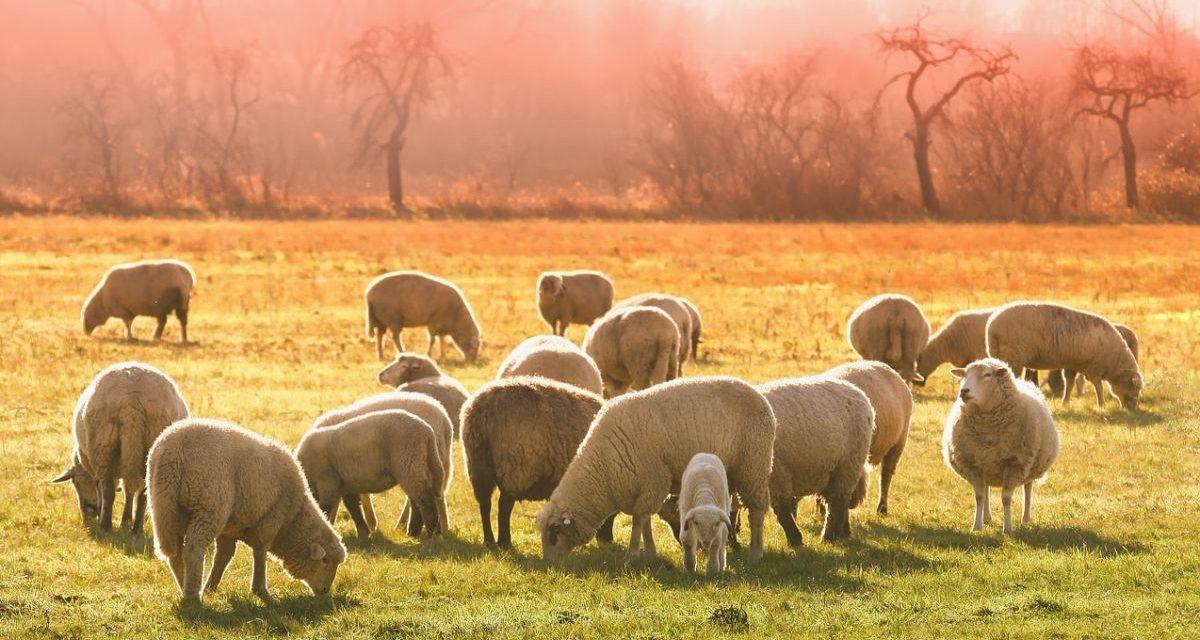Fa pascolare le pecore in un terreno del Comune di Pontestura, denunciato