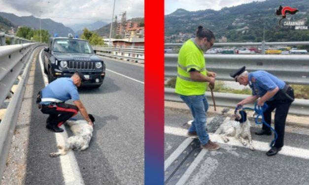 Cane smarrito sul cavalcavia a Ventimiglia, salvo grazie ai carabinieri