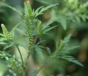 La pianta di Ambrosia