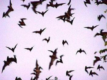 pipistrelli - I